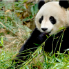 Thumbnail image for I Can't Stop Watching The Panda Cam (Watch It Here)